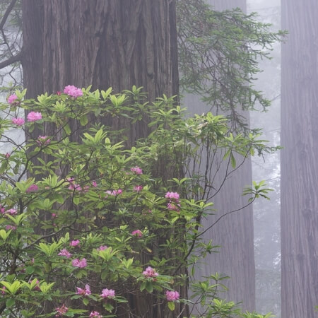 Rhododendron Blooms in Redwood Forest