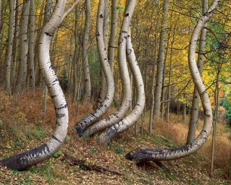 Curved Aspen