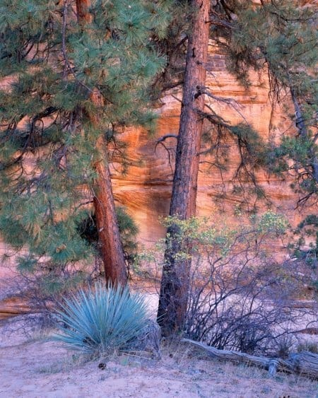 Yucca and Pines