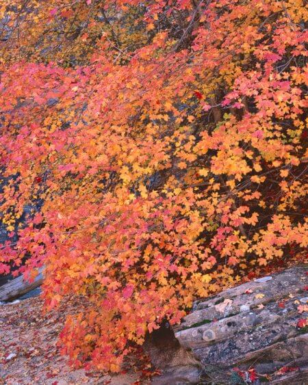 Orange and Yellow Maple